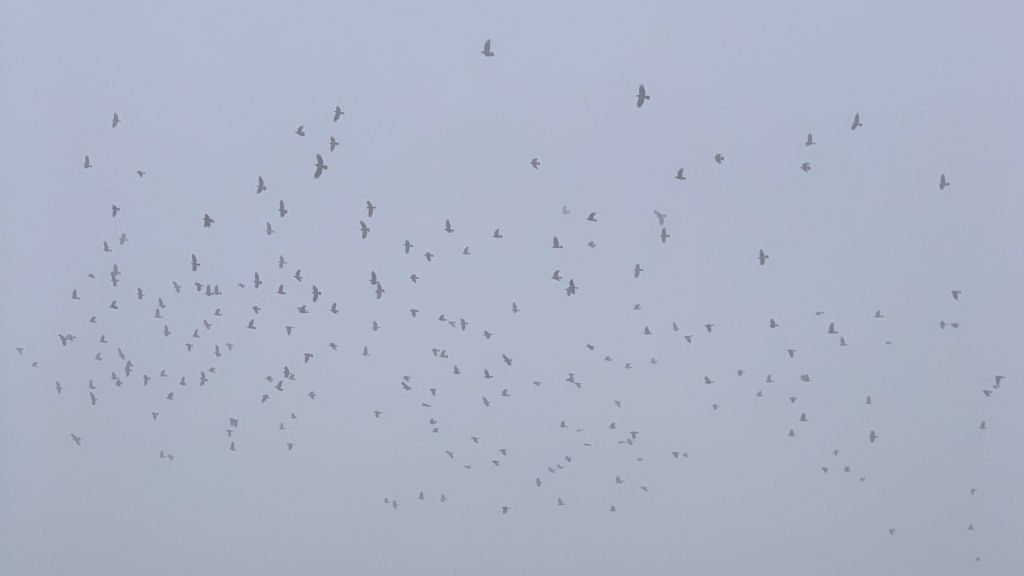 crows (or maybe rooks) in the mist